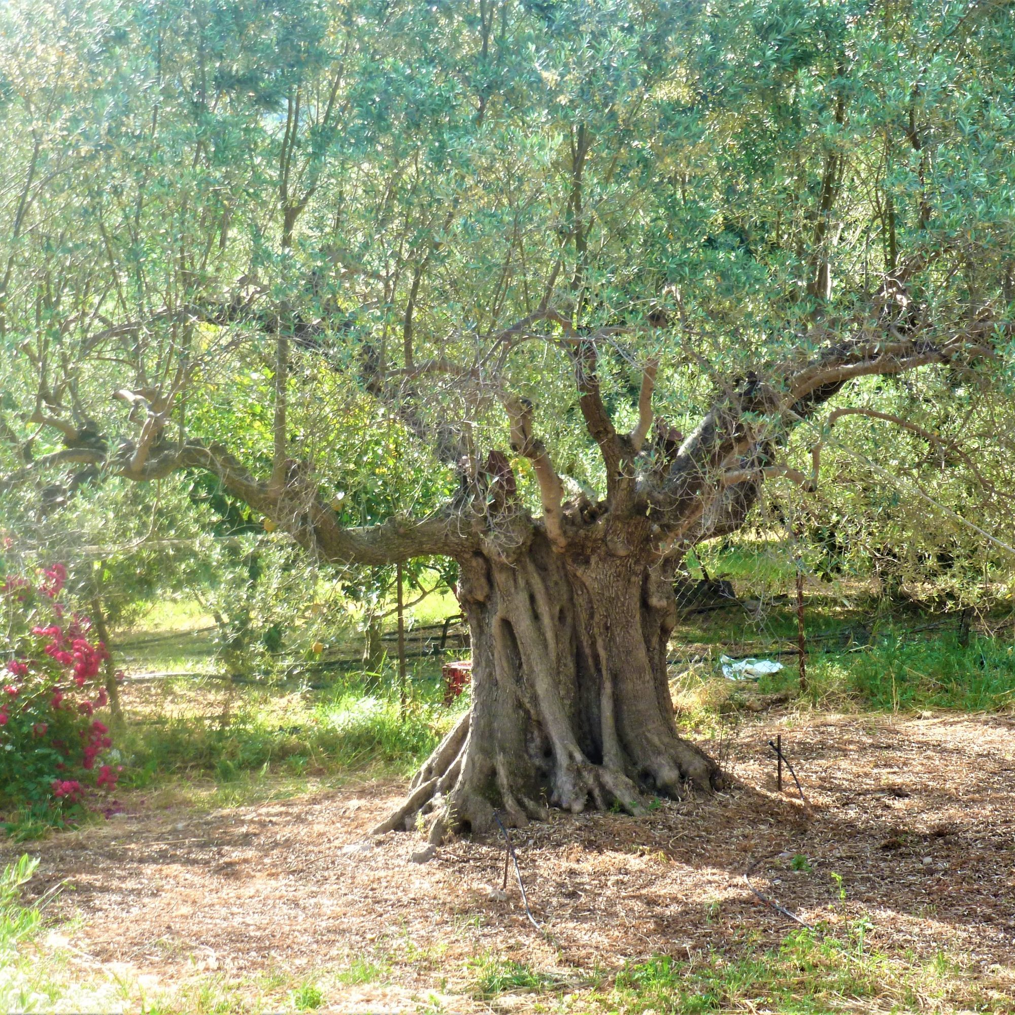 Uitzicht vanaf terras op oude olijfboom